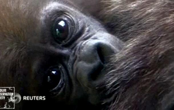 В зоопарке Нью-Йорка появились на свет два детеныша гориллы
