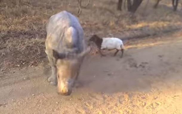 Детеныш носорога подружился с ягненком в ЮАР
