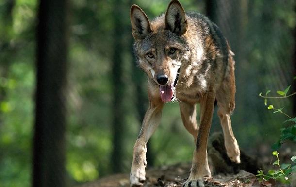 В Крыму ожидают нашествия волков