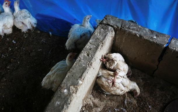 Голландия отменила меры против птичьего гриппа