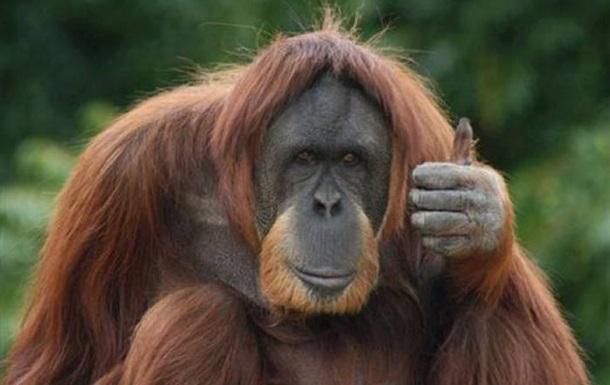 За орангутаном в Аргентине признали права человека