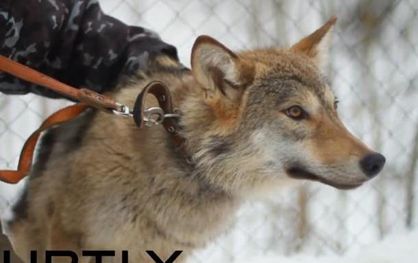 В России хозяин приюта выгуливает на улицах города волчицу