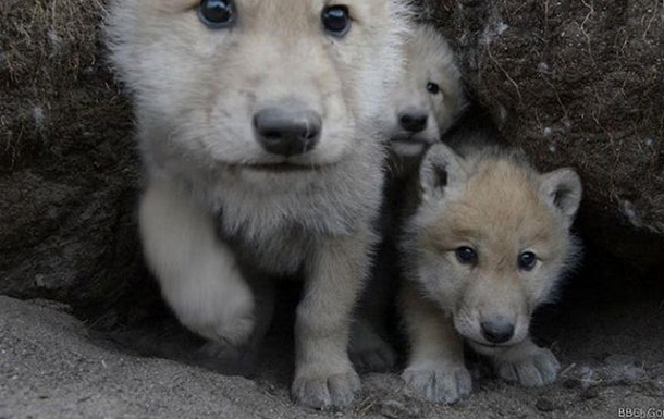 Волчье семейство: взгляд изнутри