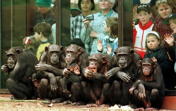 СМИ угрожают жизни обезьян - ученые