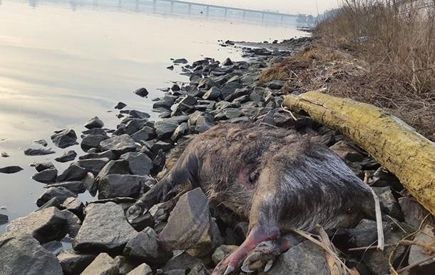 На київську набережну з Дніпра викинуло мертвих кабанів