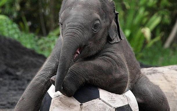 В центре шведского города запретили прогулку слонов