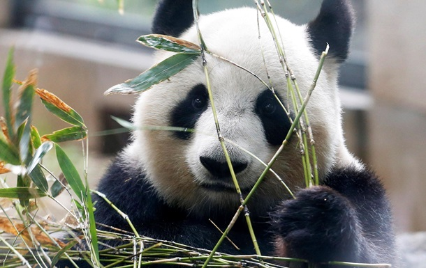 Єдині панди-трійнята вперше спробували бамбук