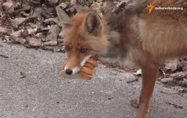 Чорнобильська лисиця зробила собі бутерброд