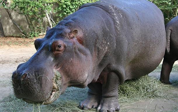 У віці 58 років помер найстаріший бегемот у Північній Америці