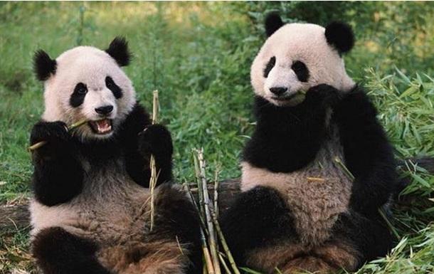Вся правда о больших пандах