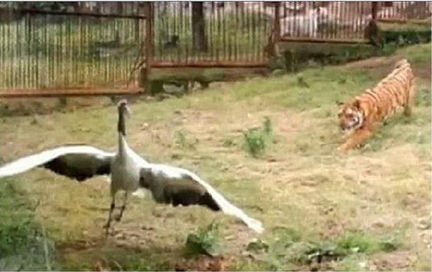 Журавль отбился от двух тигров в китайском зоопарке
