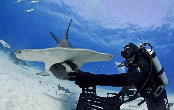 Отчаянный смельчак. Американец с рук покормил молотоголовую акулу