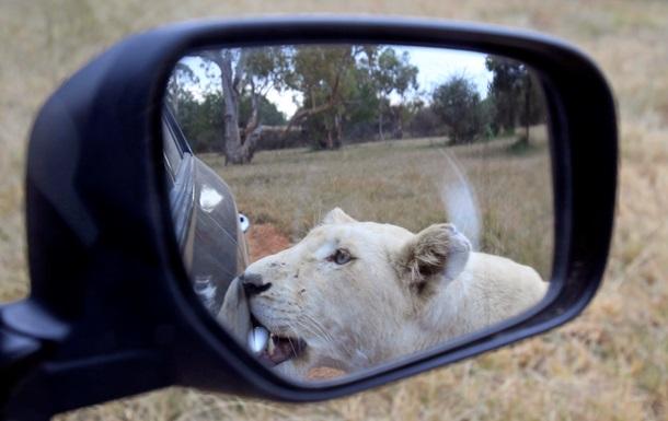 В южноафриканском парке львица напала на пару в автомобиле