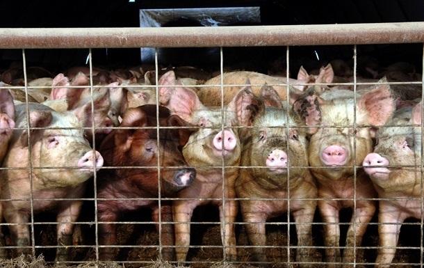 На Киевщине из-за вспышки чумы сожгли 37 тысяч свиней