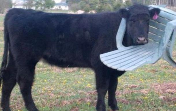 В Великобритании застрявшая в пластиковом стуле корова озадачила спасателей