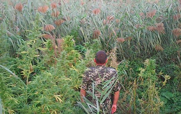 В Одесской области на острове обнаружили 500 кустов конопли