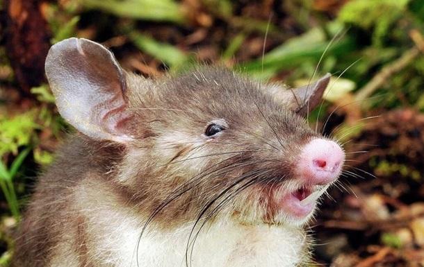 Зоологи нашли необычного  крысокабана