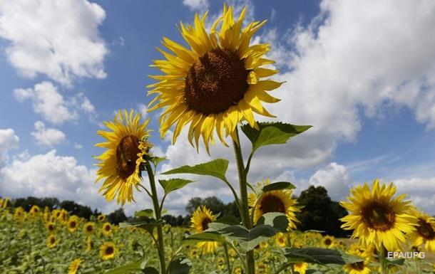 Мінсільгосп США підвищив прогноз врожаю соняшнику в Україні