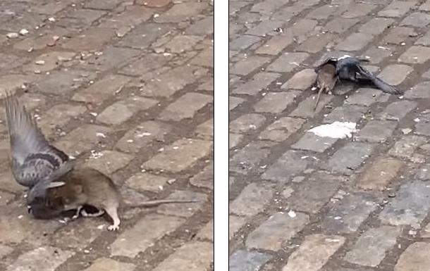 В центре Нью-Йорка крыса напала на голубя