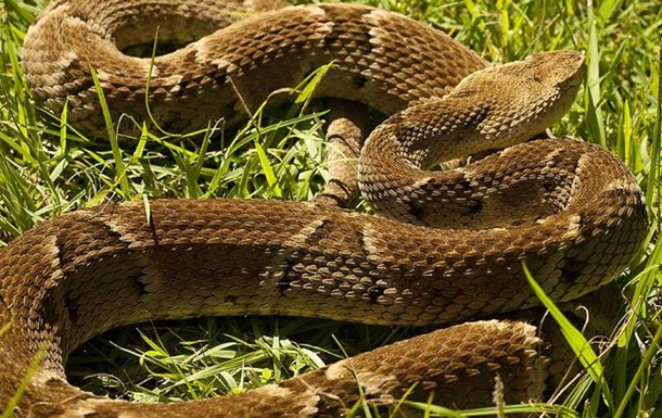 В Бразилии полуторагодовалый ребенок загрыз ядовитую змею