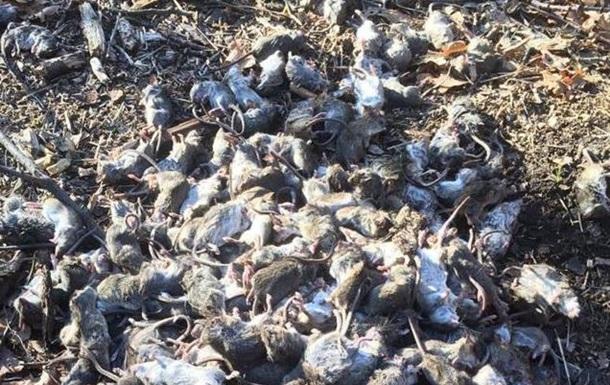 В Донбассе жалуются на нашествие крыс и мышей