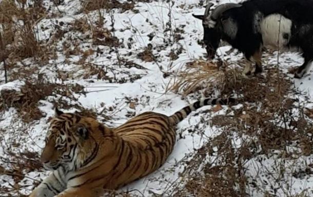В России амурский тигр начал защищать своего друга козла