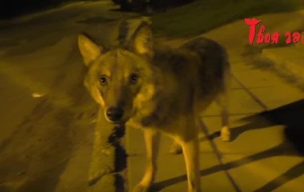 По улицам крымского курорта бродит волк