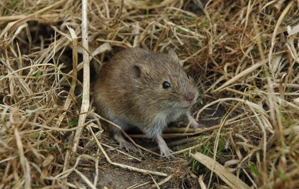 Мыши-полевки способны проявлять сострадание – ученые