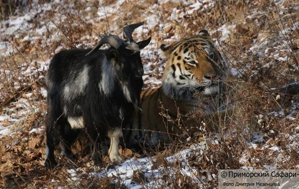 Тигра Амура и козла Тимура расселили из-за самки