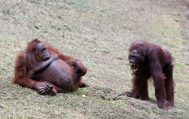 Самка орангутанга объединилась с самцом для убийства соперницы