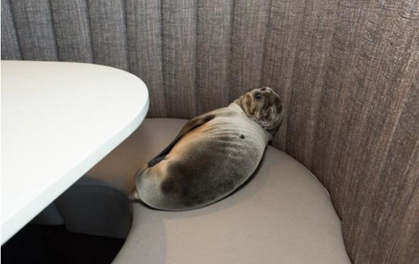 В США оголодавший морской лев наведался в ресторан