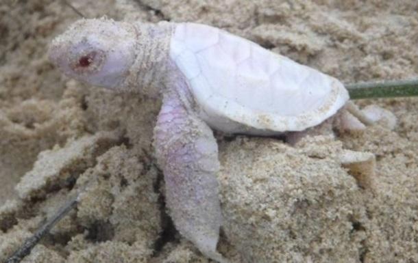 В Австралии заметили редкую черепаху-альбиноса