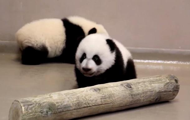 Детеныши панды зоопарка Торонто научились ходить