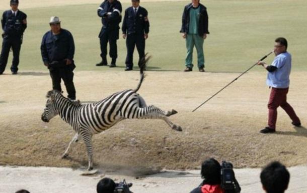 Зебра-утікачка потонула у озері на полі для гольфу в Японії