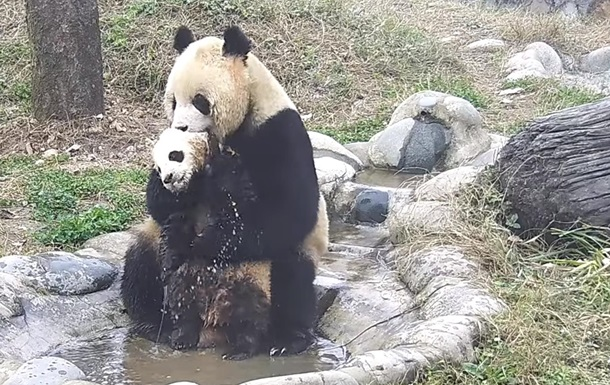 Мама-панда викупала вертляве дитинча на відео