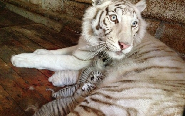 Тигрюля народила чотирьох тигренят-альбіносів
