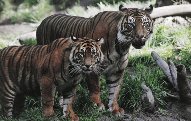 Популяция тигров выросла впервые за несколько десятилетий