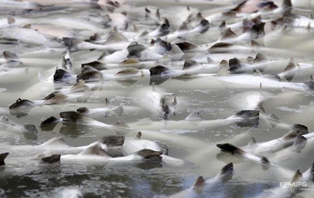 У Чилі виявили масову загибель риби