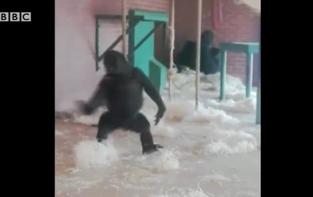 Відеохіт: горила, яка танцює, підкорила Мережу