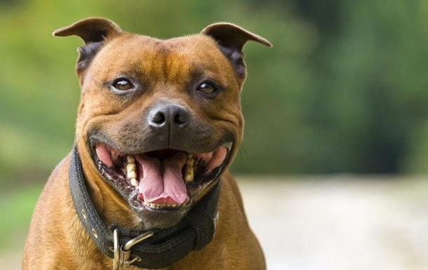 В Запорожье бойцовский пес загрыз хозяина
