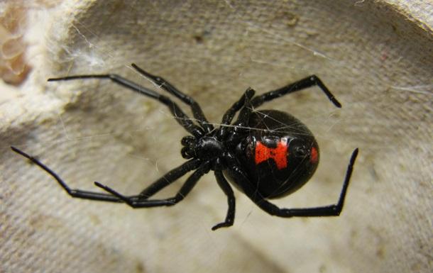 Отруйний павук вкусив австралійця за пеніс