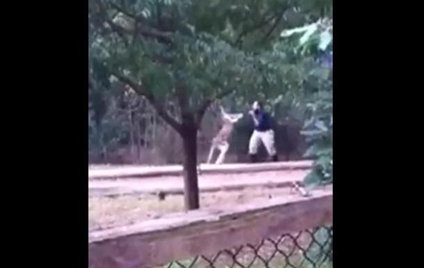 Кенгуру побил работника зоопарка на глазах у посетителей