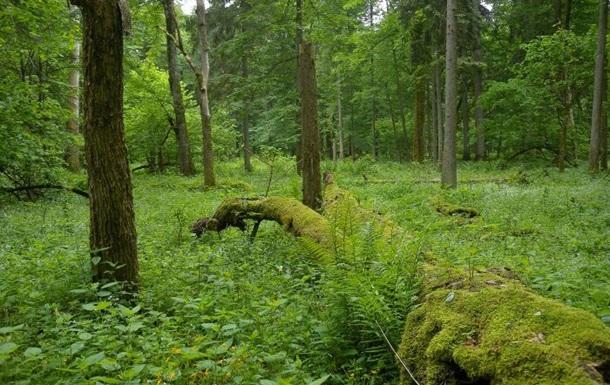 В Польше начали вырубать Беловежскую пущу