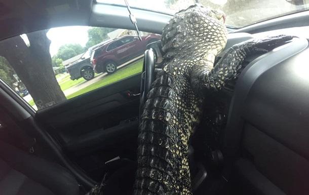 Аллигатор сел за руль, спасаясь от зоозащитницы