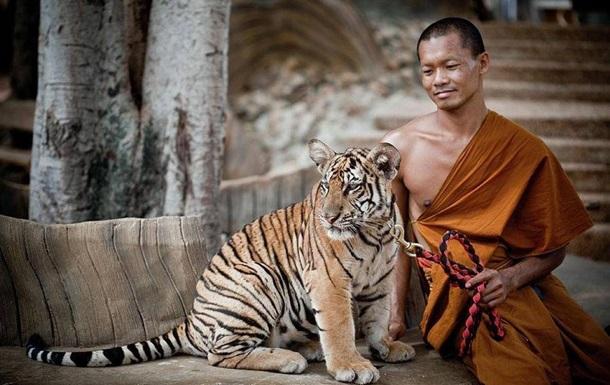 В буддийском храме в Таиланде нашли 40 мертвых тигрят
