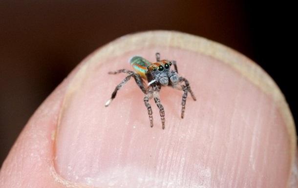 Відкриті нові види танцюючого павука-павича
