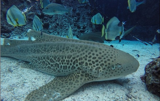 Акула народила дитинчат без статевого контакту з самцем