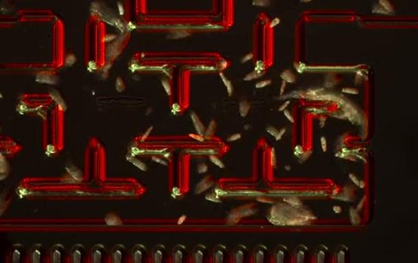 В игру Pacman сыграли одноклеточными организмами