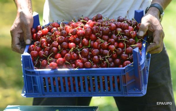 В России бульдозером уничтожили 46 тонн черешни и яблок