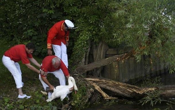 У Великобританії триває перепис королівських лебедів
